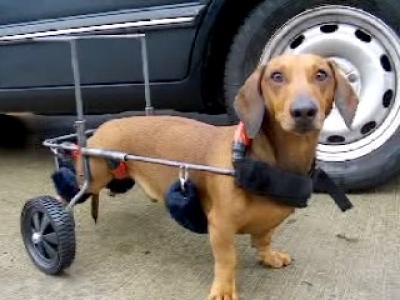 chienhandicap.jpg